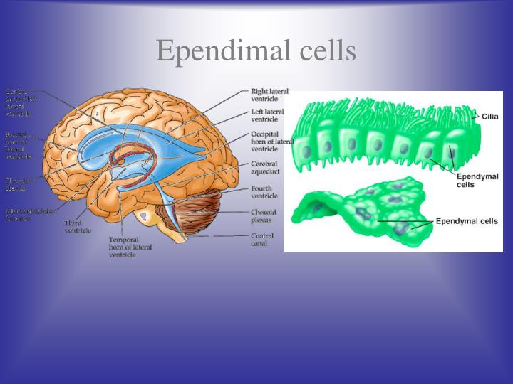 Ependimal cells