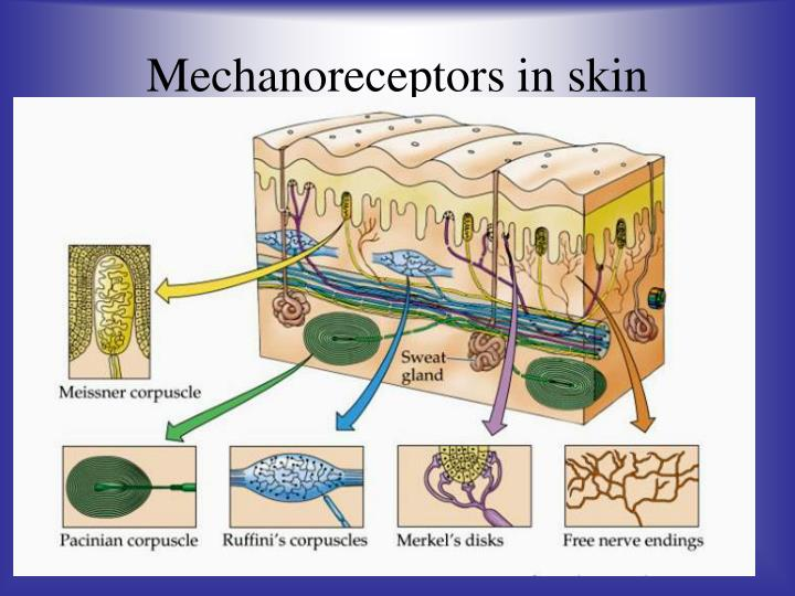 Mechanoreceptors in skin