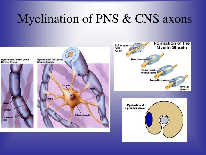 Myelination of PNS & CNS axons