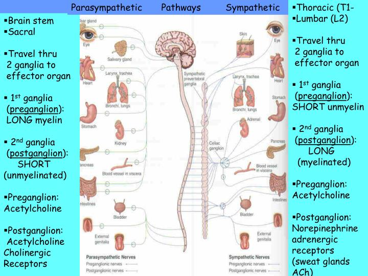 PPT - Lecture 3 - 2007 YOUR NERVOUS SYSTEM …please do not ...