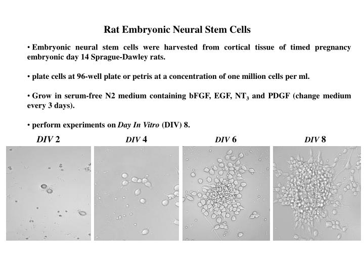 Rat Embryonic Neural Stem Cells