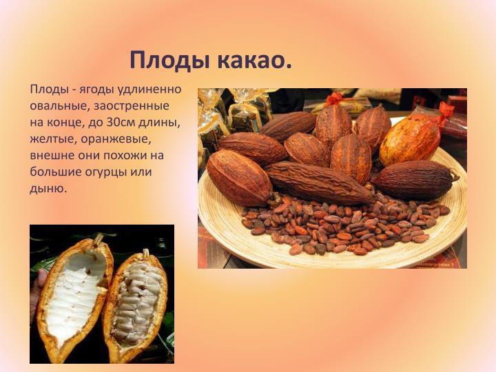 Плоды какао.
