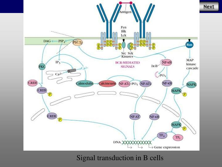 Signal transduction in B cells