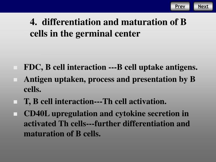 4.  differentiation and maturation of B cells in the germinal center
