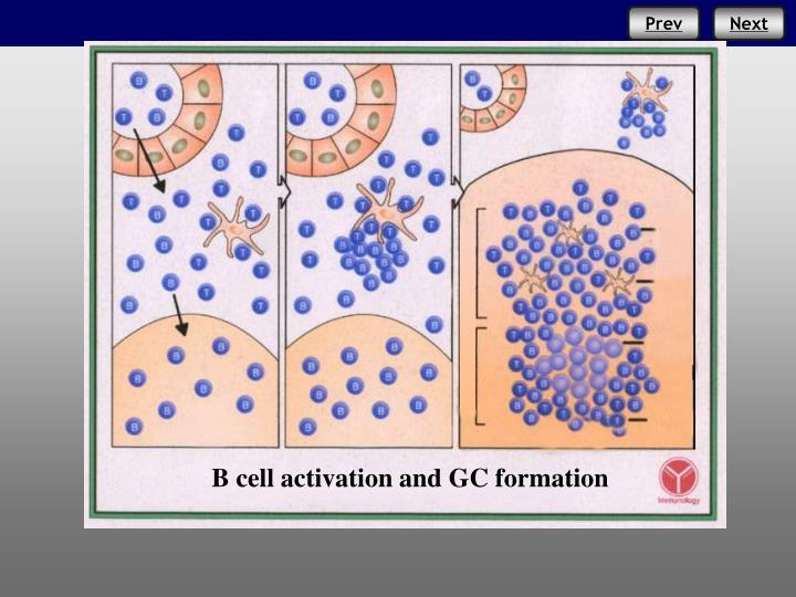 B cell activation and GC formation