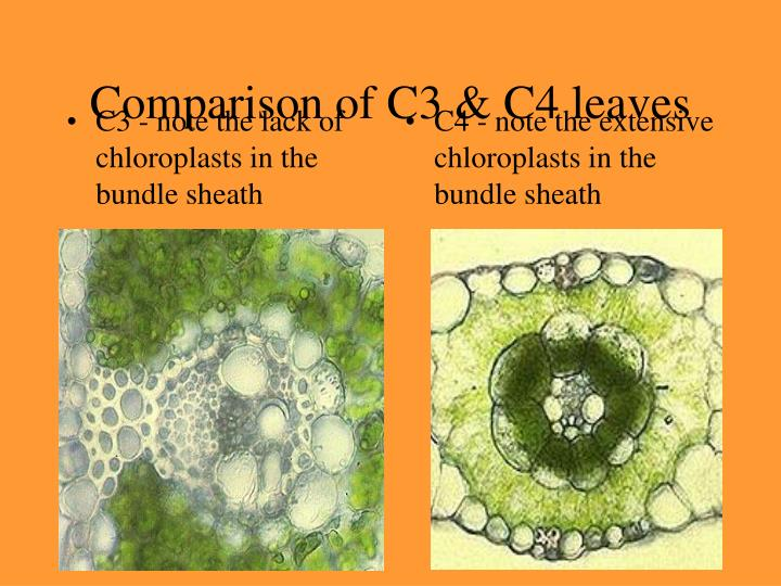 C3 - note the lack of chloroplasts in the bundle sheath