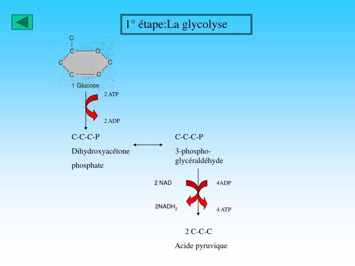 1° étape:La glycolyse