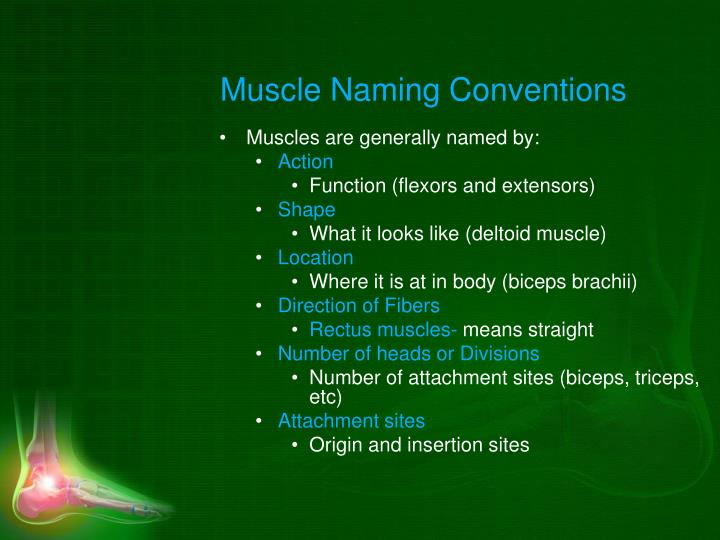 Muscle Naming Conventions