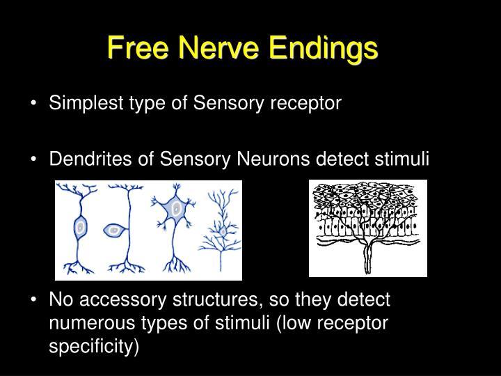 Free Nerve Endings