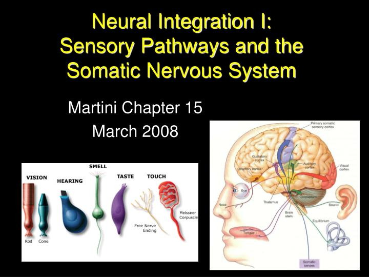 Neural integration i sensory pathways and the somatic nervous system