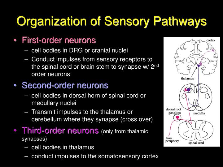 Organization of Sensory Pathways