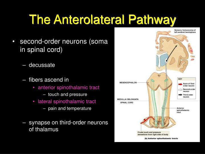The Anterolateral Pathway