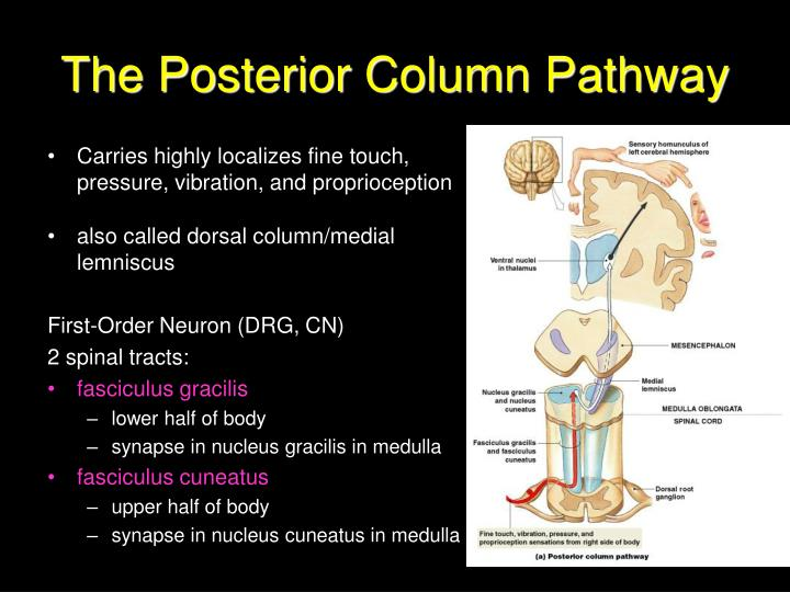 The Posterior Column Pathway