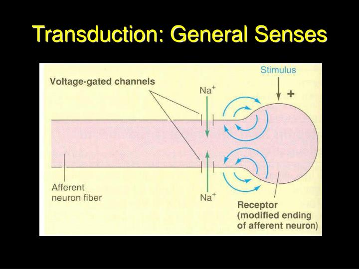 Transduction: General Senses