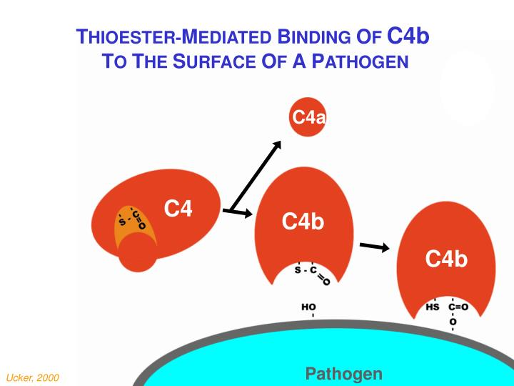 Thioester mediated binding of C4b
