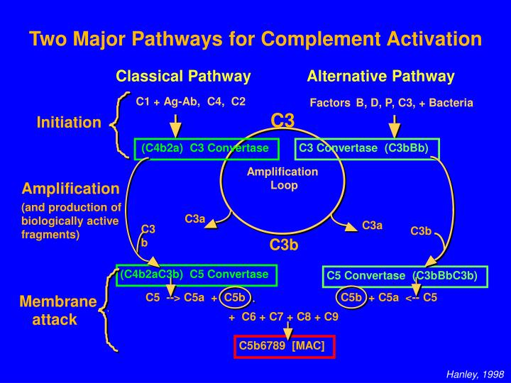 Two Major Pathways for Complement Activation