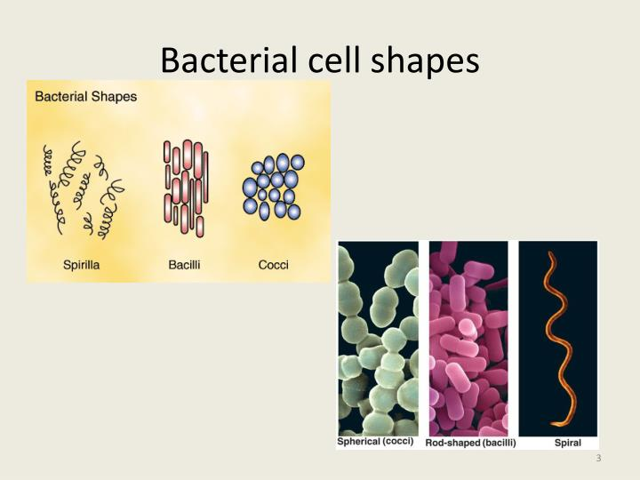 Bacterial cell shapes