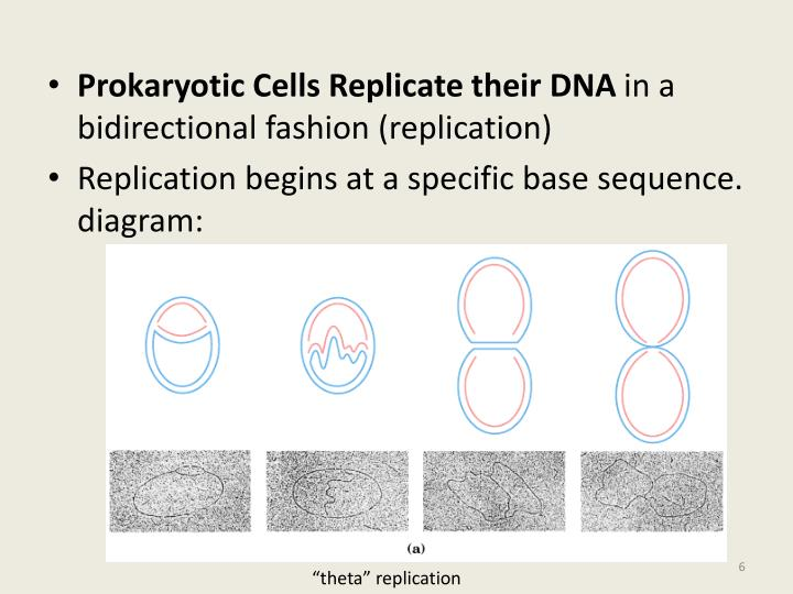 Prokaryotic Cells Replicate their DNA