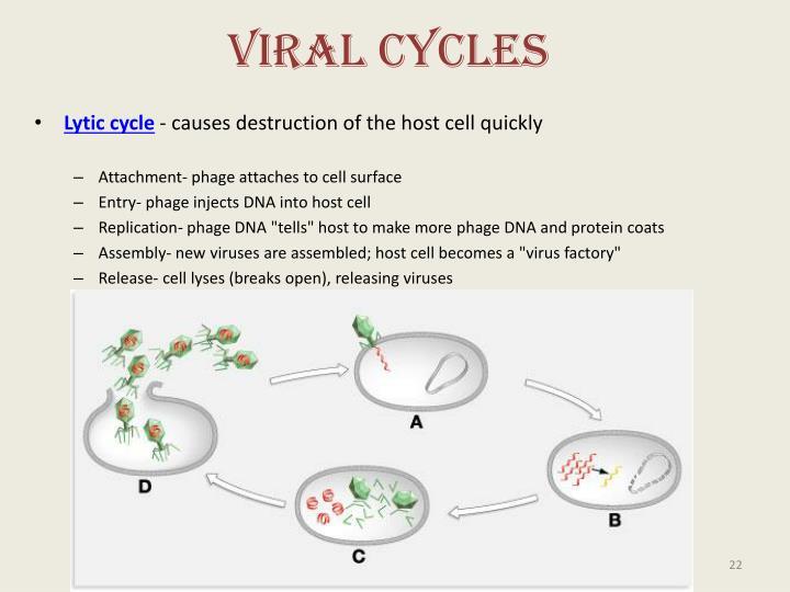 Viral Cycles