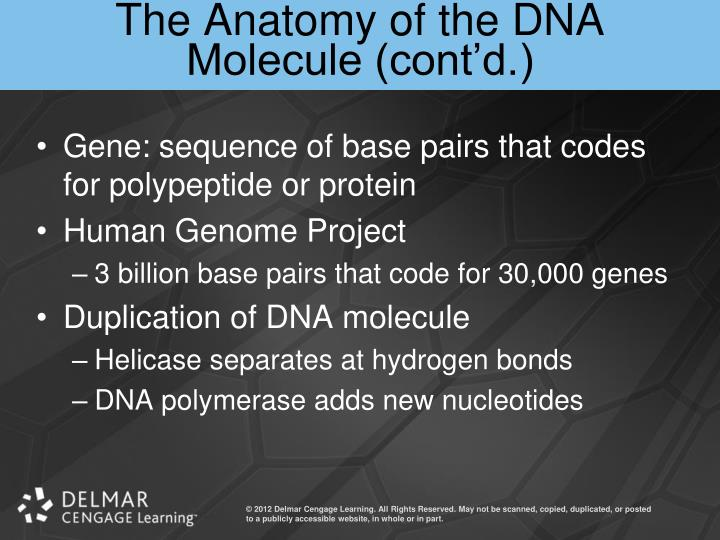 The Anatomy of the DNA Molecule (cont'd.)