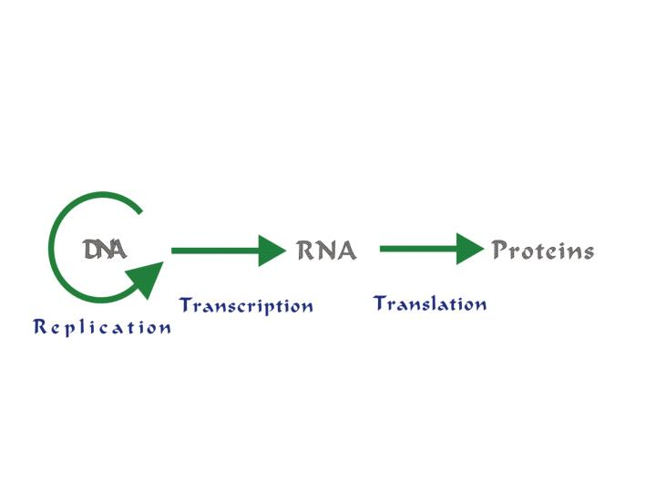 Briefly describe the steps of dna replication