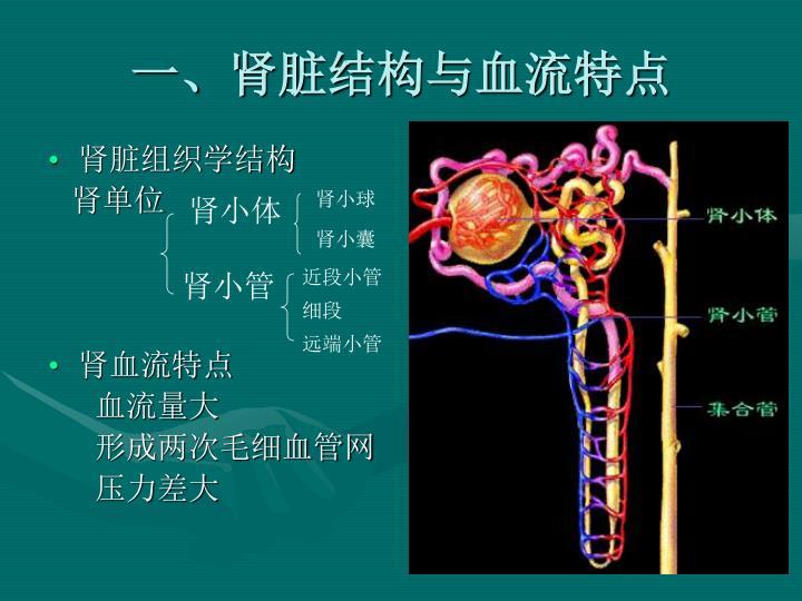 一、肾脏结构与血流特点