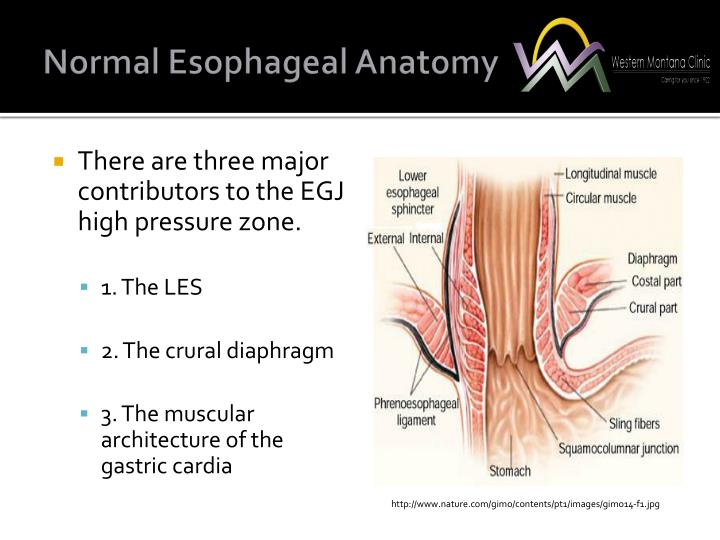 Normal Esophageal Anatomy