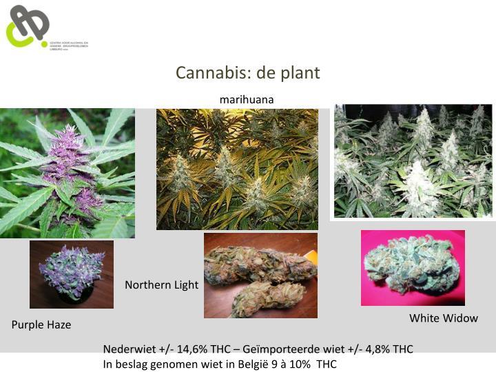 Cannabis: de plant
