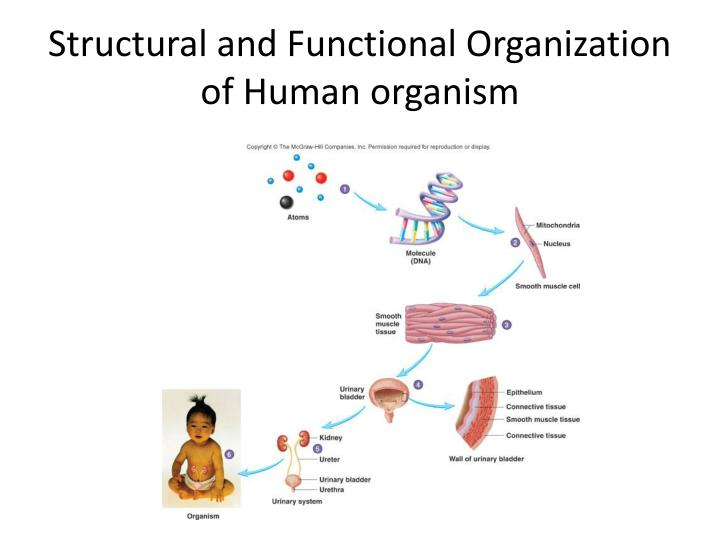 Structural and functional organization of human organism