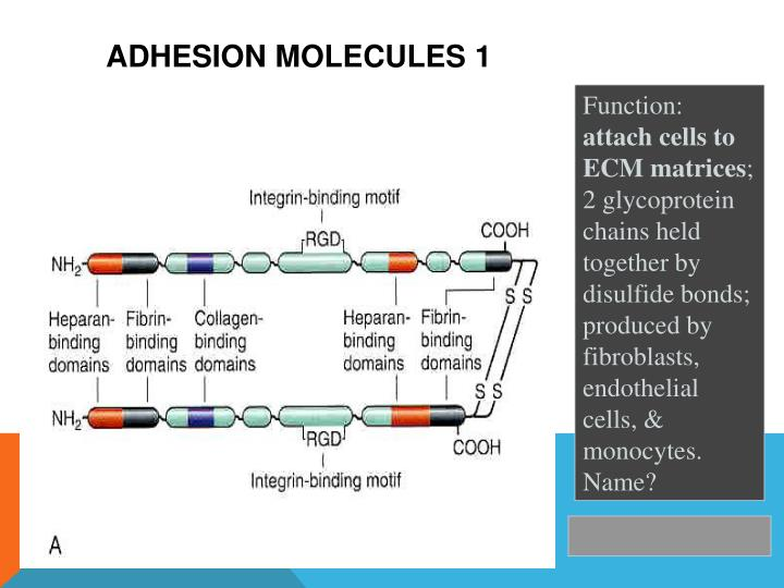 Adhesion molecules 1