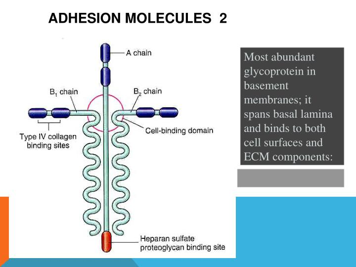 Adhesion molecules  2