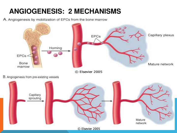 Angiogenesis:  2 mechanisms