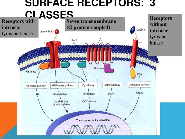 Surface Receptors:  3 classes