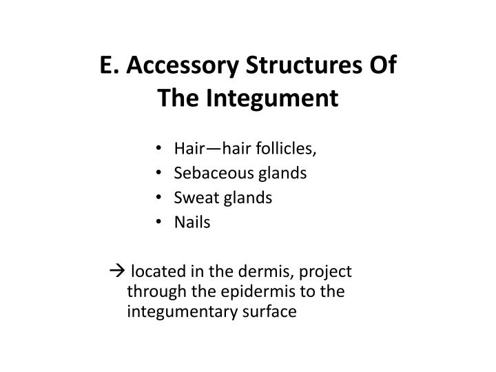 E. Accessory Structures Of