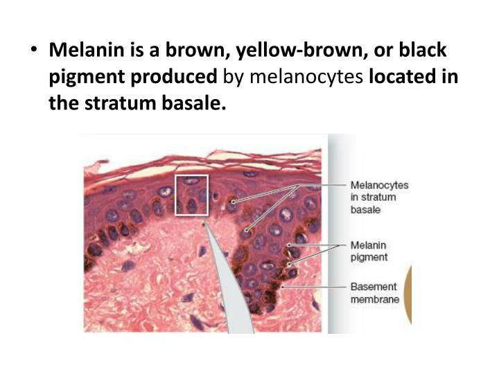 Melanin is a brown, yellow-brown, or black pigment produced