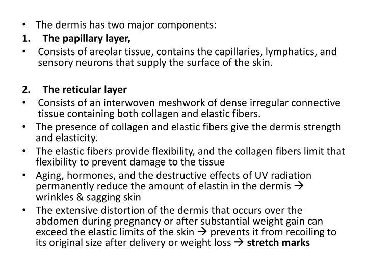 The dermis has two major components:
