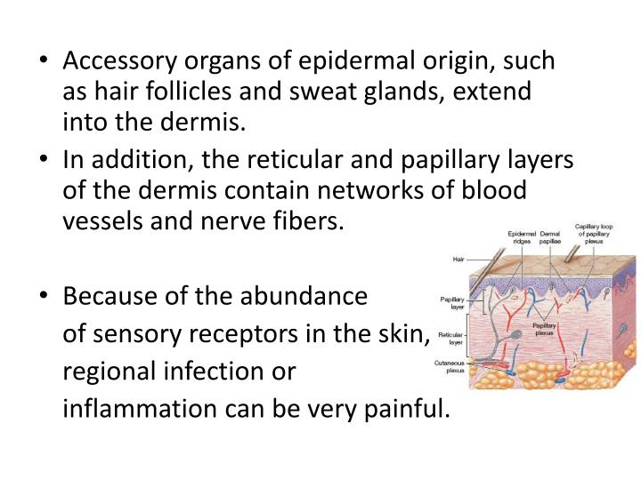 Accessory organs of epidermal origin, such as hair follicles and sweat glands, extend into the dermis.