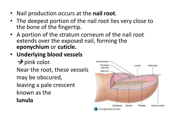 Nail production occurs at the