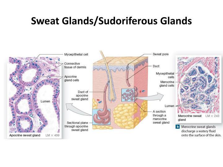 Sweat Glands/