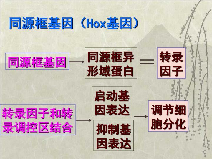 同源框基因(