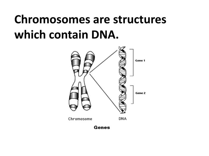Chromosomes are structures which contain DNA.