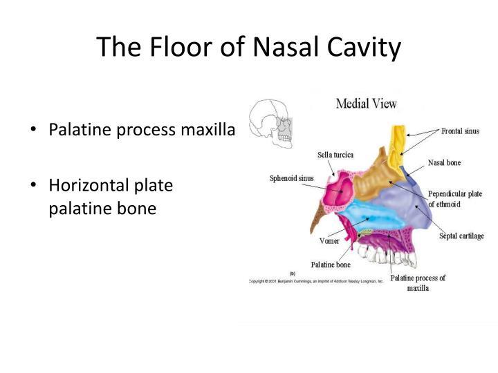 The Floor of Nasal Cavity