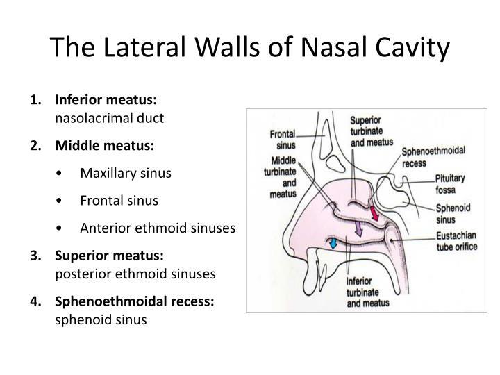 The Lateral Walls of Nasal Cavity