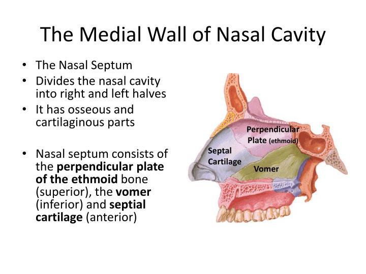 The Medial Wall of Nasal Cavity