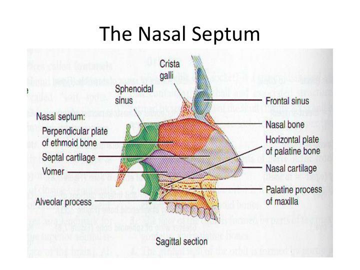 The Nasal Septum