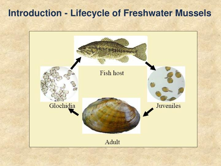 Introduction - Lifecycle of Freshwater Mussels