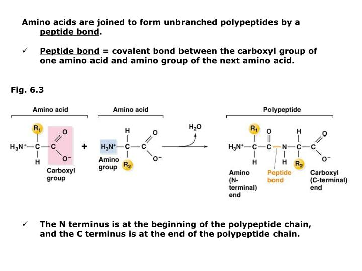 Amino acids are joined to form unbranched polypeptides by a