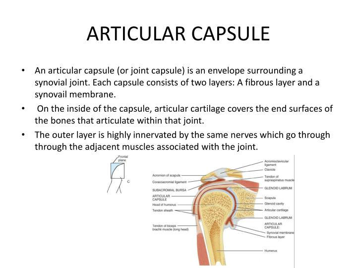 PPT - GLENOHUMERAL JOINT (SHOULDER JOINT) PowerPoint ...