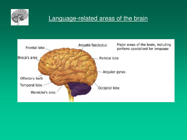 Language-related areas of the brain