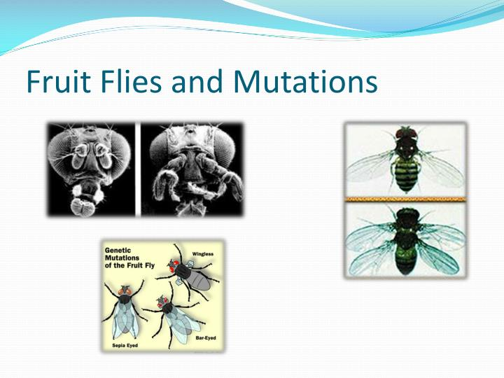 Fruit Flies and Mutations